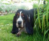Basset Hound male called Maurice