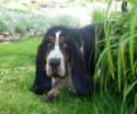 Basset Hound male called Maurice